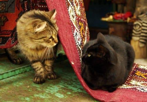 En svart katt og en brun katt