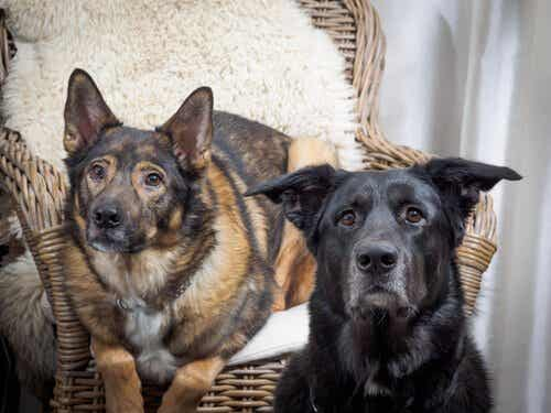 Atferdsproblemer: Upassende paring hos hunder