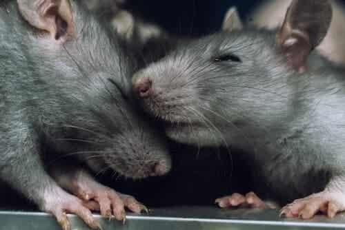 Kan rotter føle empati?