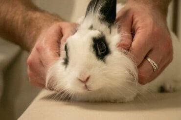 En veterinær som sjekker for vestibulær sykdom hos kaniner