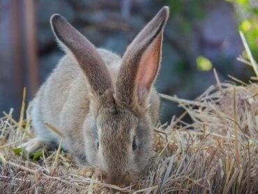 En gigantisk kanin som spiser.
