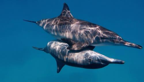 To delfiner under samleie