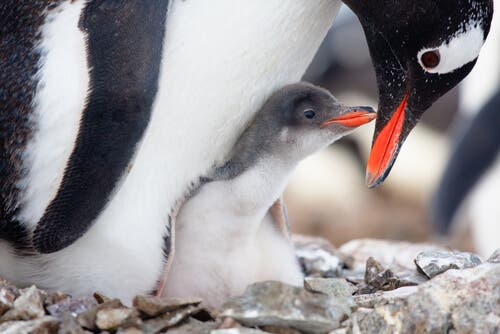 Foreldreomsorg hos fugler: Er det verdt innsatsen?