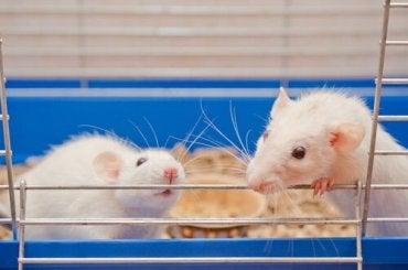 Rotter i et bur som er laget spesielt for dyrevelferd for forsøksrotter