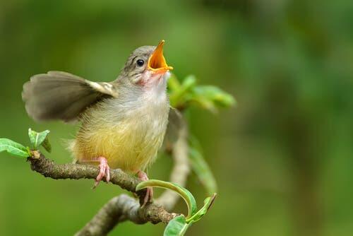 Lær hvordan du kan identifisere fuglesang hjemmefra