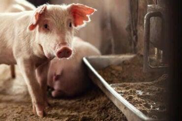 Nåværende dyrehelsekrise: Afrikansk svinepest