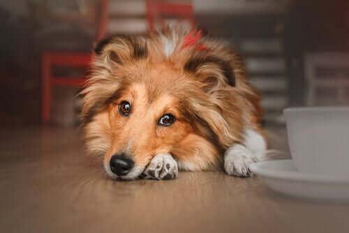 En hund som hører på klassisk musikk