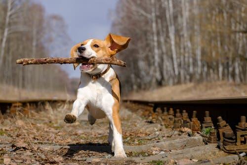 En beaglehund med en pinne