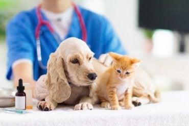 En veterinær som behandler dyr
