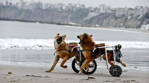 To hunder i rullestoler på stranden