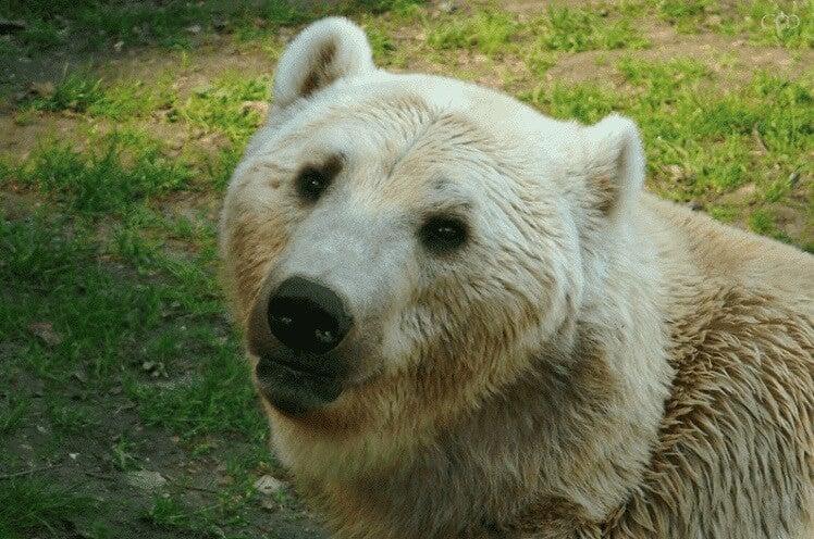 Et nærbilde av en isbjørn