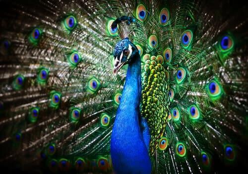 En hannpåfugl med vakre halefjær