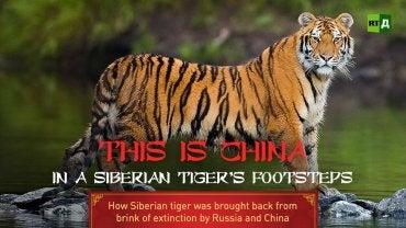 En dokumentar om den sibirske tigeren