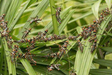 En sverm av gresshopper