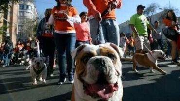 Hundrevis av bulldogger i parade for å bryte en rekord