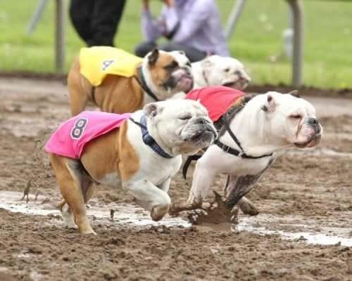 Bulldoger løper mot hverandre