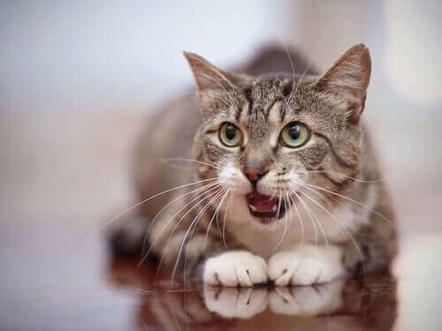 En jaktende katt, mjauende