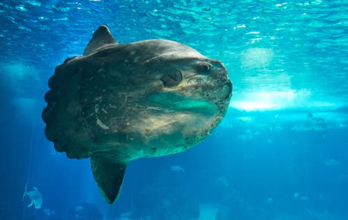 Arten månefisk (Mola mola): Verdens tyngste fisk