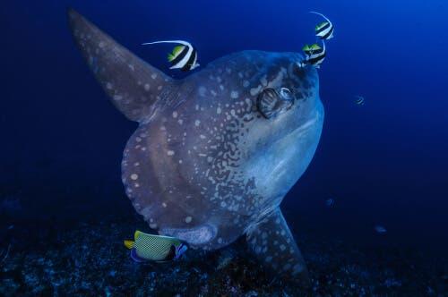 En månefisk som svømmer md andre fisker