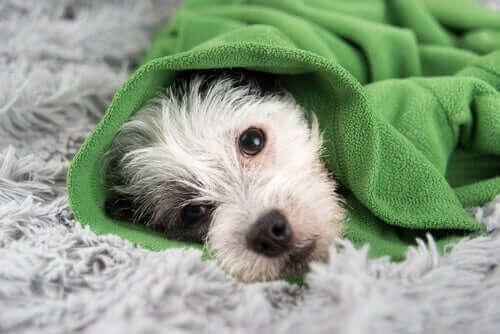 Symptomene på forkjølelse hos hunder