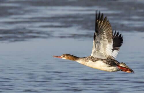 En laksand som flyr over vann