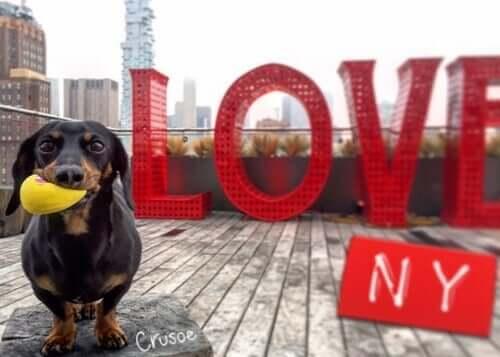 Møt Crusoe: Den verdensberømte dachshunden