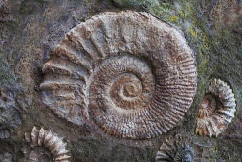 En stein med ammonittfossiler