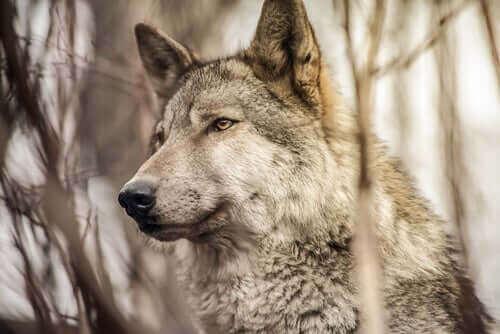 Hunder og ulver: likheter og forskjeller