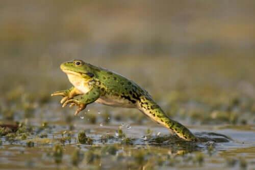 En hoppende frosk