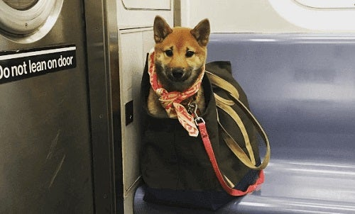 Hva hundeeiere gjør for å ta med seg hunden sin på New Yorks undergrunnsbane