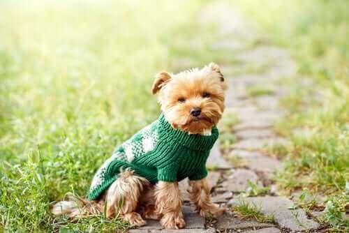 En liten hund iført genser