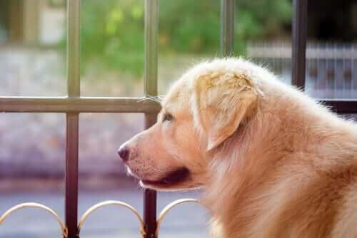 En hund som stirrer ut i luften