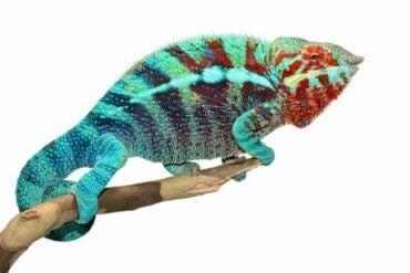 Hvorfor skifter kameleoner farge?