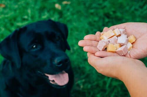 En svart labrador som sitter på bakken og venter på at eieren skal gi den mat