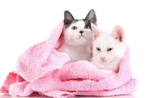 To katter er pakket inn i et håndkle