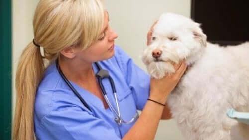 En veterinær som undersøker en hund
