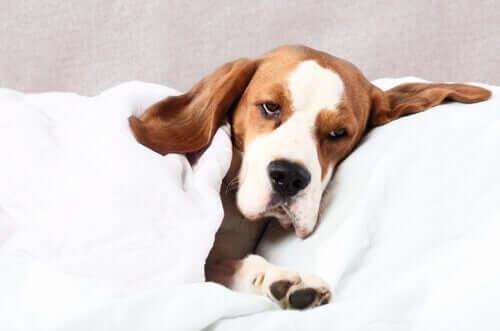 En hund som føler seg syk