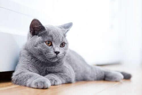 En katt som ligger på gulvet