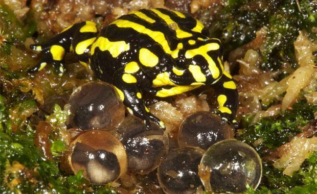En corroboree frosk som sitter på toppen av noen egg