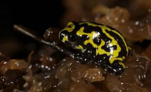 Corroboree-frosken: En svært fascinerende art