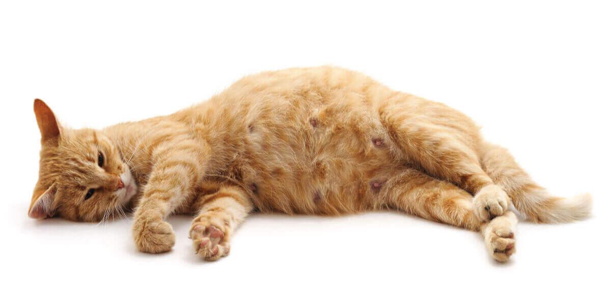 En drektig katt