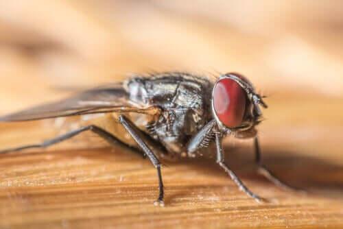 En ung husflue