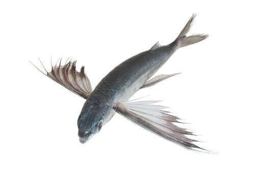 En Exocoetus volitans flygefisk som sprer vingene sine