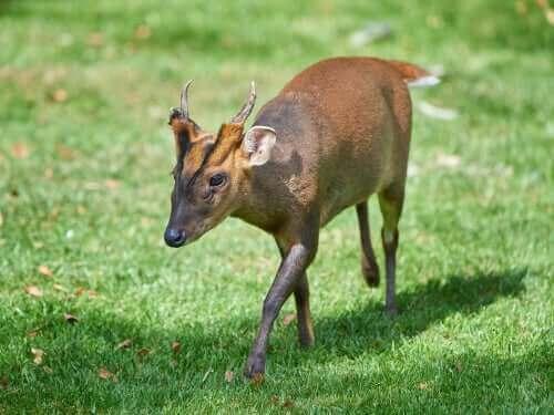 Verdens minst kjente hjortedyr
