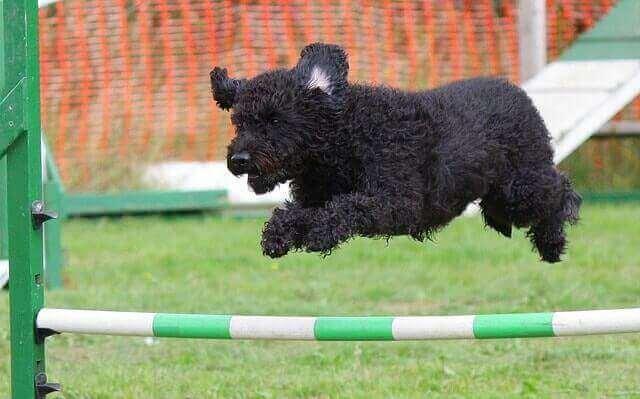 En hund som gjør en sprangprøve for en av de største hundeorganisasjonene i verden