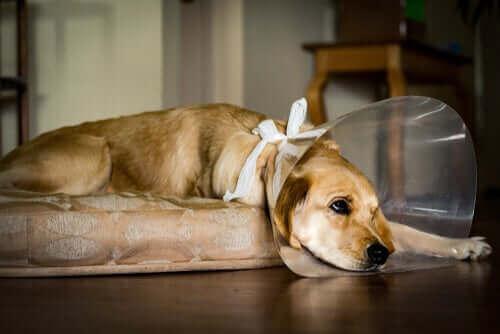 En hund iført en sårskjerm