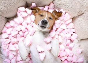 Er det farlig for hunder å spise søtsaker?