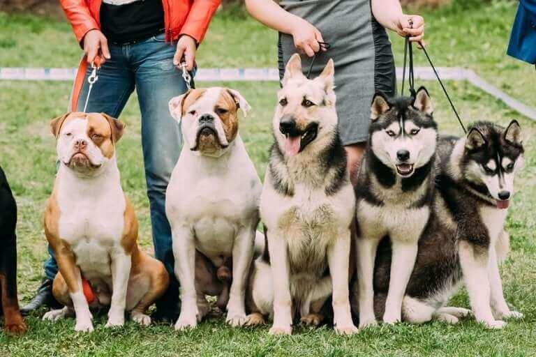 Et par eiere som står med en gruppe hunder i bånd