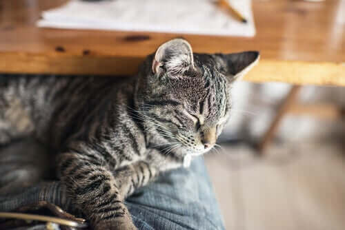 Forgiftning hos katter og hva du bør gjøre hvis det skjer