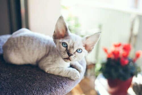 Devon rex, en katt som ikke liker å være alene